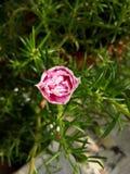 Moss Rose foto de stock
