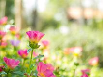 Moss Rose, Beautiful colors of flowers. Royalty Free Stock Photo