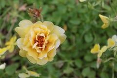 Moss Rose Blossom amarelo Fotos de Stock
