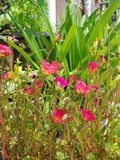 Moss Rose eller sol rosa eller solväxt Royaltyfri Foto