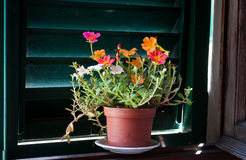 Moss Rose flower in a window Stock Images
