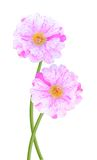 Moss rose flowers Royalty Free Stock Image
