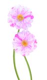 Moss rose flowers Royalty Free Stock Images