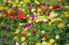 Moss rose flowers on a sunny day. Bees flying above moss rose flowers on a sunny day Royalty Free Stock Image