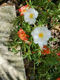 Moss Rose Garden Mix. Peach, white, landscaping royalty free stock photo