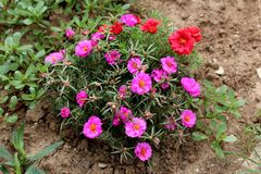 Free Moss Rose Or Portulaca Grandiflora Fast Growing Plant With Closed Flower Buds And Open Pink And Orange Flowers In Home Garden Royalty Free Stock Photo - 167788315