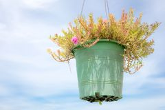 Moss Rose pink flower pot hanging with blue sky and white clouds on the background. Royalty Free Stock Photography