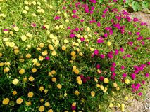 Moss rose Royalty Free Stock Photography