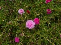 Moss Rose/Portulaca Stockfotos