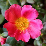 Moss Rose. Top Down View of a Moss Rose Flower Royalty Free Stock Images