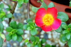 Moss Rose. Top down view of Moss Rose in the garden Royalty Free Stock Image