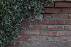 Moss Rose Vine with Blossoms Climbing on Brick Wall Stock Photography