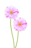 Moss roses Stock Photography