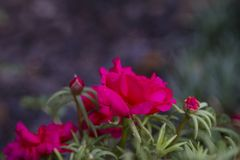 Moss Roses, der im Garten wächst Lizenzfreie Stockfotos