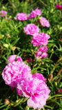 Moss roses Royalty Free Stock Photography