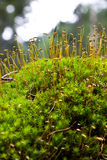 Moss seeds Stock Photos
