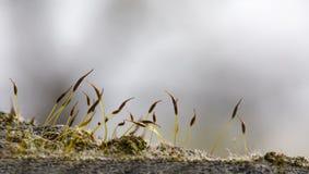 Moss Seeds Immagini Stock