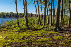 Moss on Shoreline. Green moss along the shoreline of Lake Maguerite on this sunny Spring day in Helmetta New Jersey Stock Photo