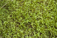 The Moss. The sick moss covering the ground in the forest close up Stock Photos