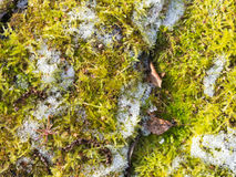 Moss and snow Royalty Free Stock Photography