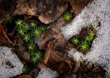 Moss, Snow, Leaves Royalty Free Stock Photo