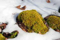 Moss in snow Stock Photos