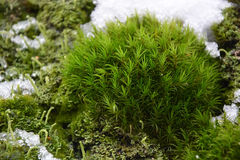 Moss and snow Stock Photos