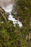 Moss with snow on tree Stock Photography