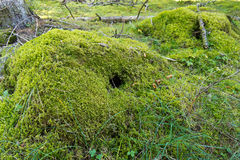 Moss sod. Animal lairs. In the forest, natural environment stock photo