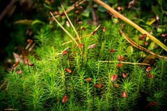 Moss. Some nature objects. Moss is a flowering Royalty Free Stock Photo