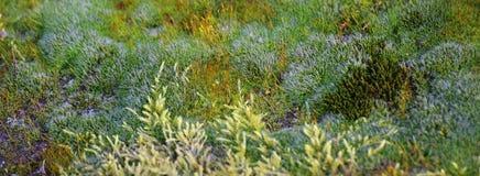 Moss Species Stock Photo