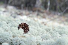 Moss, sphagnum, macro close Royalty Free Stock Image