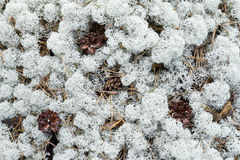 Moss, sphagnum underfoot in the forest Stock Image