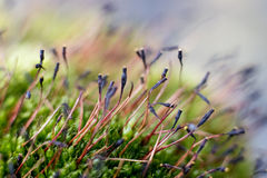 Moss sphorophytes Royalty Free Stock Image