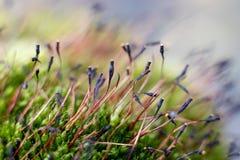 Moss sphorophytes Royalty Free Stock Image