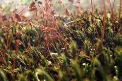 Moss sporangiums macro Stock Images
