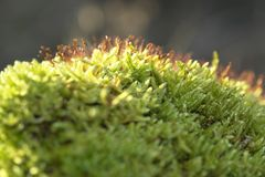 Moss sporangiums macro Royalty Free Stock Images
