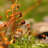 Moss spores closeup Royalty Free Stock Images
