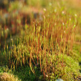 Moss with  spores Royalty Free Stock Photos