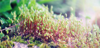 Moss spores Royalty Free Stock Photography