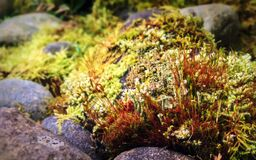 Moss with sporophytes and cup lichens among rocks Stock Photography