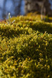 Moss sporophytes Royalty Free Stock Images