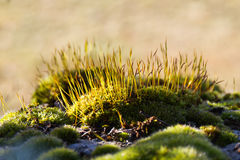 Moss sporophytes Stock Photography