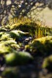 Moss sporophytes Royalty Free Stock Photos