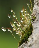 Moss with sporophytes and water droplets Stock Photos