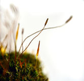 Moss sprout. Macro shot of moss sprouts on white background royalty free stock photos