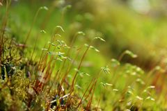 Moss sprouts, green, natural, in natural conditions in the daytime, close-up, with a blurred background. Moss sprouts, green, natural, in the forest, in natural stock image