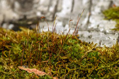 Moss stems fungus macro background Royalty Free Stock Photos