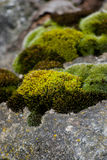 Moss on a stone Stock Images