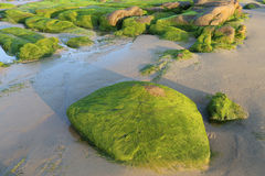 Moss on stones in the morning at Co Thach beach , Tuy Phong , Binh Thuan province , Vietnam Stock Photography